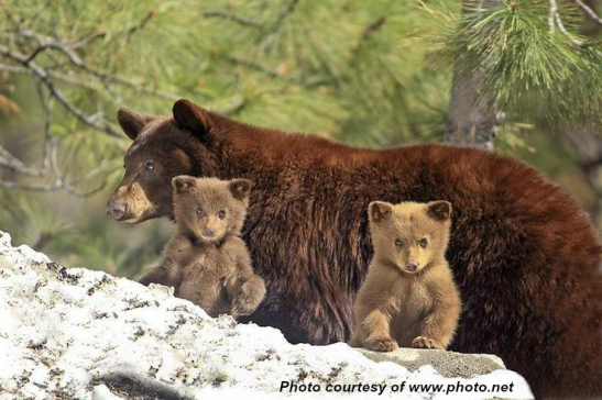 Blonde bear-cubs