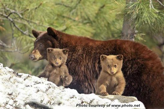 Blonde bear-cubs