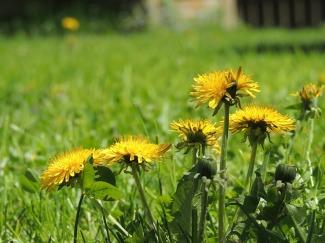 dandelion-yellow-spring-garden-plant-flower-grass